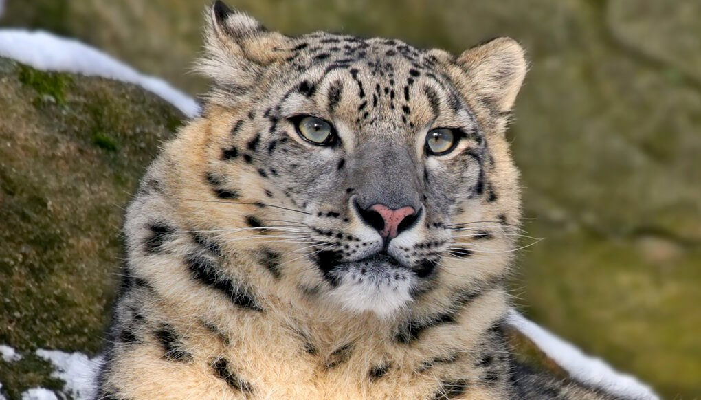 More detailed images of Snow Leopard appear